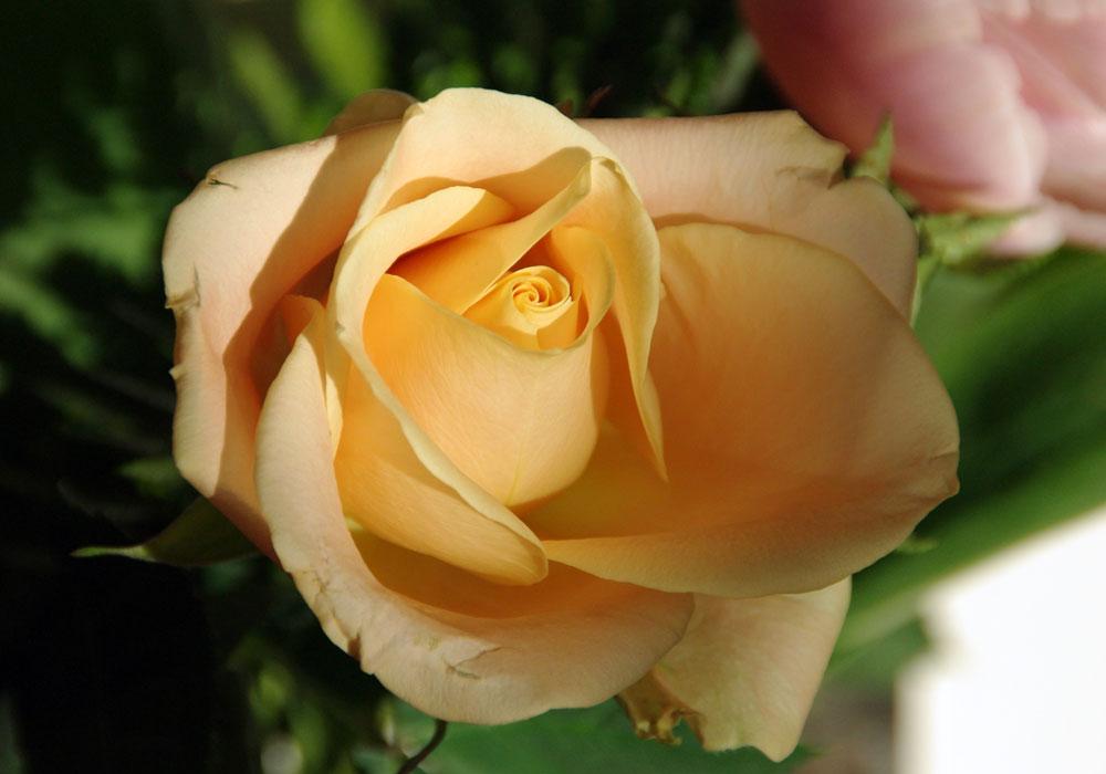 sergio-trafeli-volterra-Rosa-002