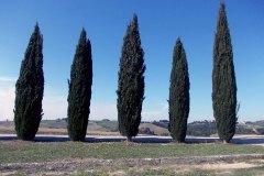 sergio-trafeli-cipressi
